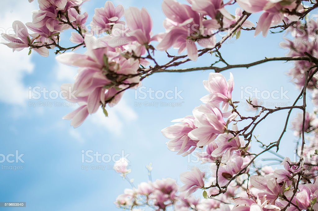 Magnolia blossom stock photo