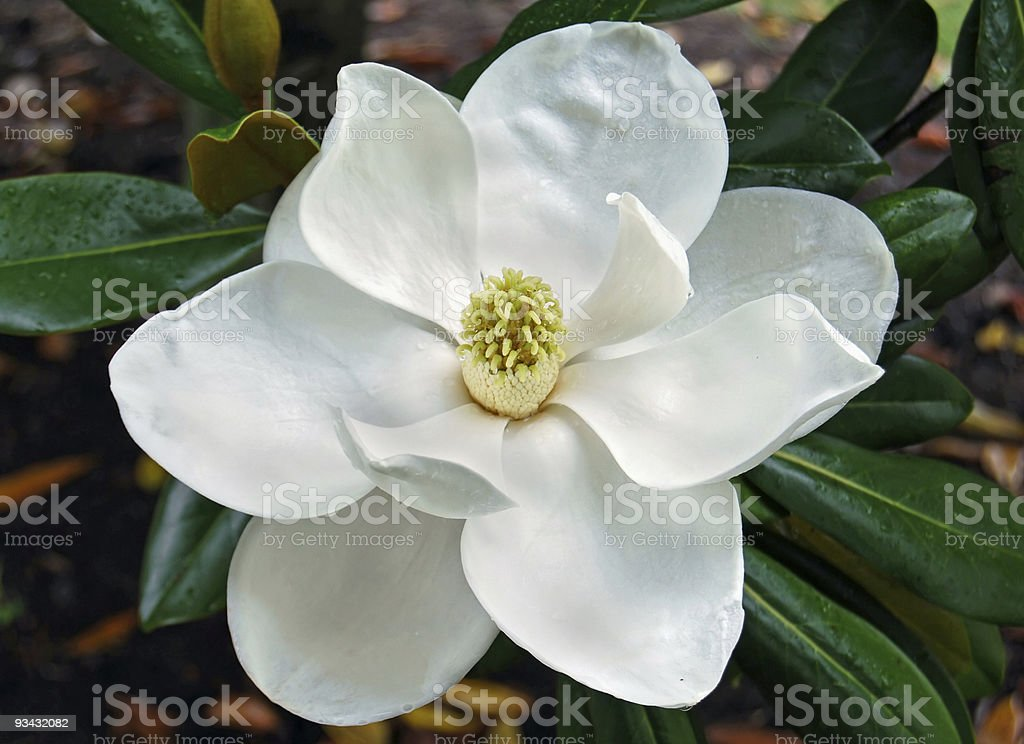 Magnolia blossom with dewdrops royalty-free stock photo
