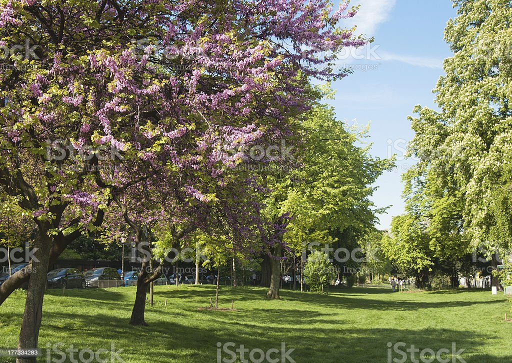 Magnolia blossoming in the Parisian park royalty-free stock photo