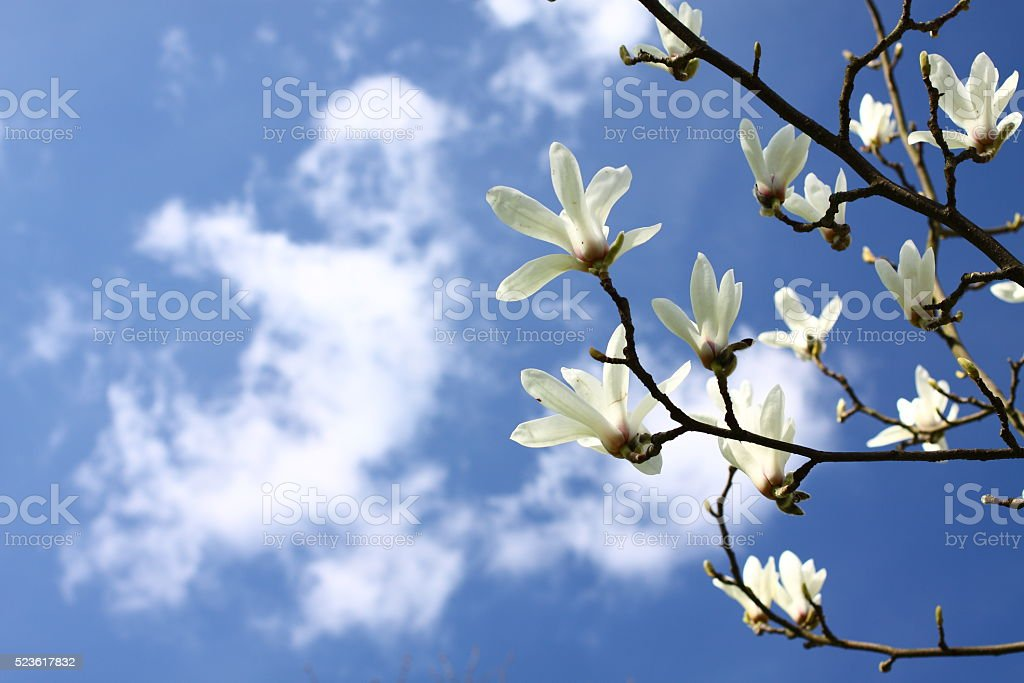 magnolia blossoms against the blue sky stock photo