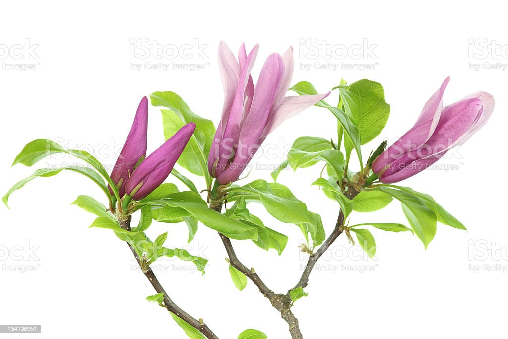 magnolia blossoms and leaves isolated on white stock photo