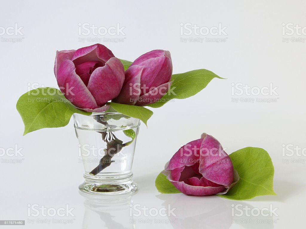 Magnolia blossoms in a vase. Still life with magnolia flowers. stock photo