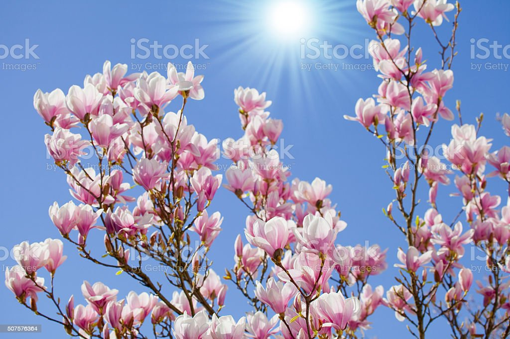 Magnolia blossoms in front of a blue sky with sunbeams stock photo