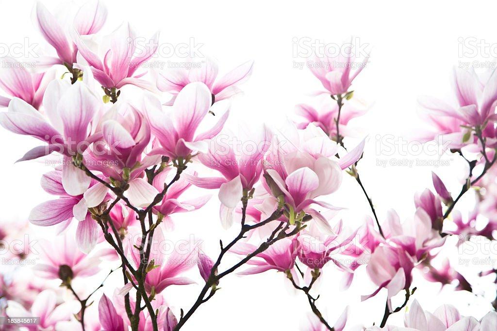 magnolia blossoms stock photo