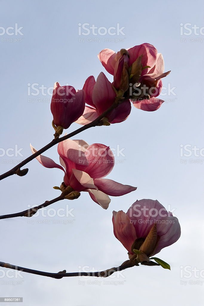 Magnolia brenches royalty-free stock photo