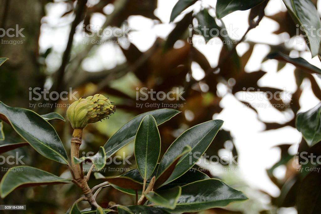 Magnolia Bud II royalty-free stock photo