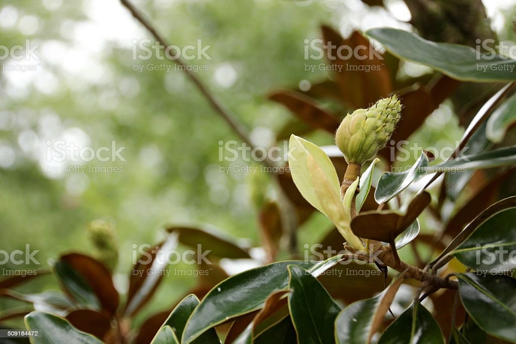 Magnolia Bud III royalty-free stock photo