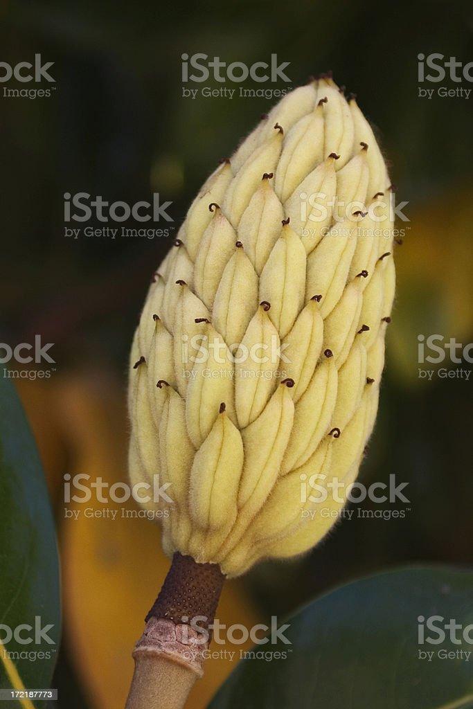 Magnolia Bud royalty-free stock photo