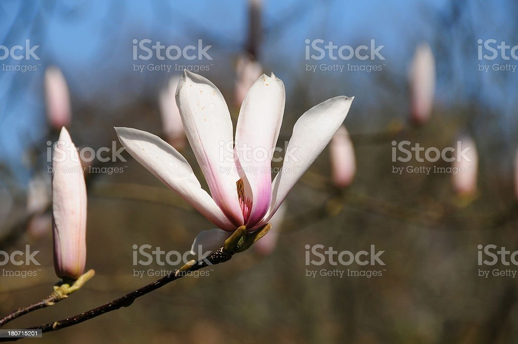 Magnolia bud. royalty-free stock photo