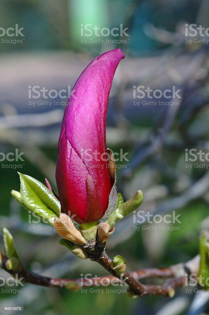 Magnolia Bud stock photo
