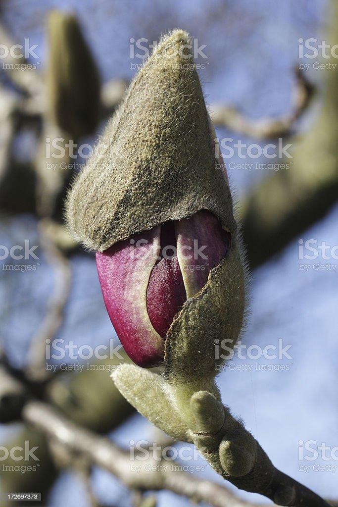 Magnolia bud trapped under leafy sheath royalty-free stock photo