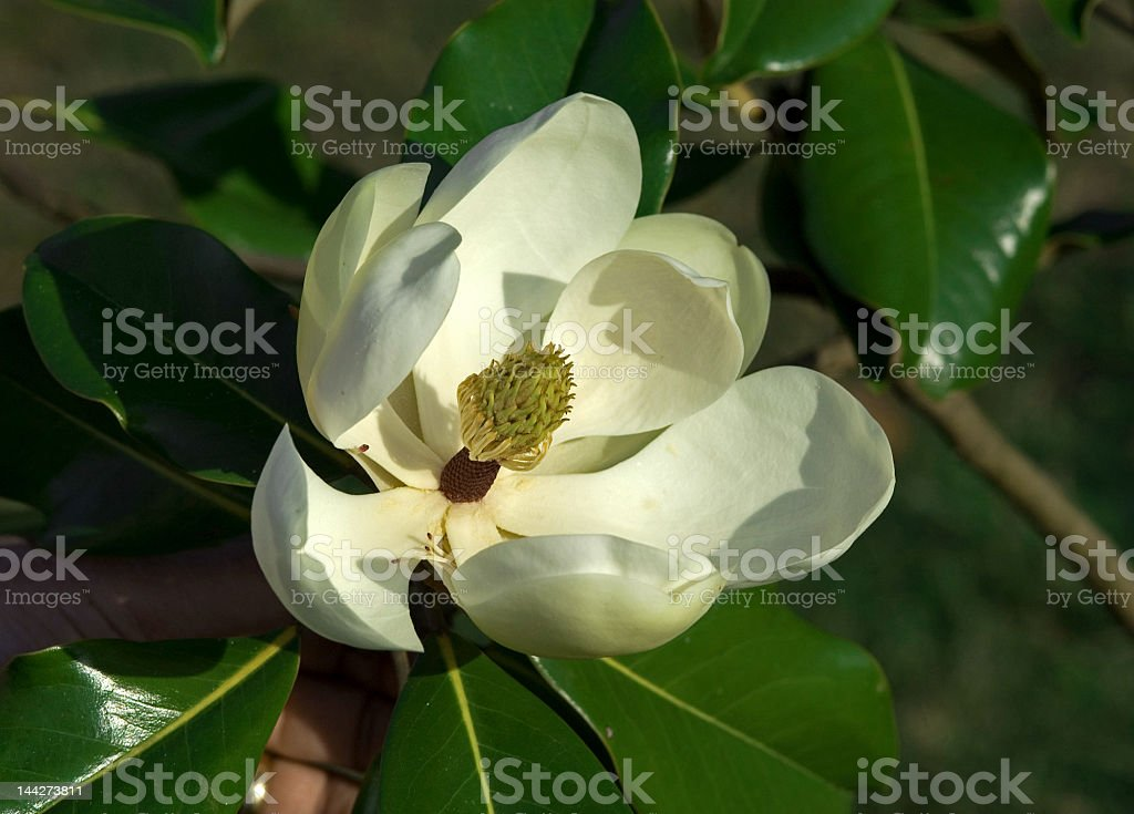 Magnolia Close Up royalty-free stock photo
