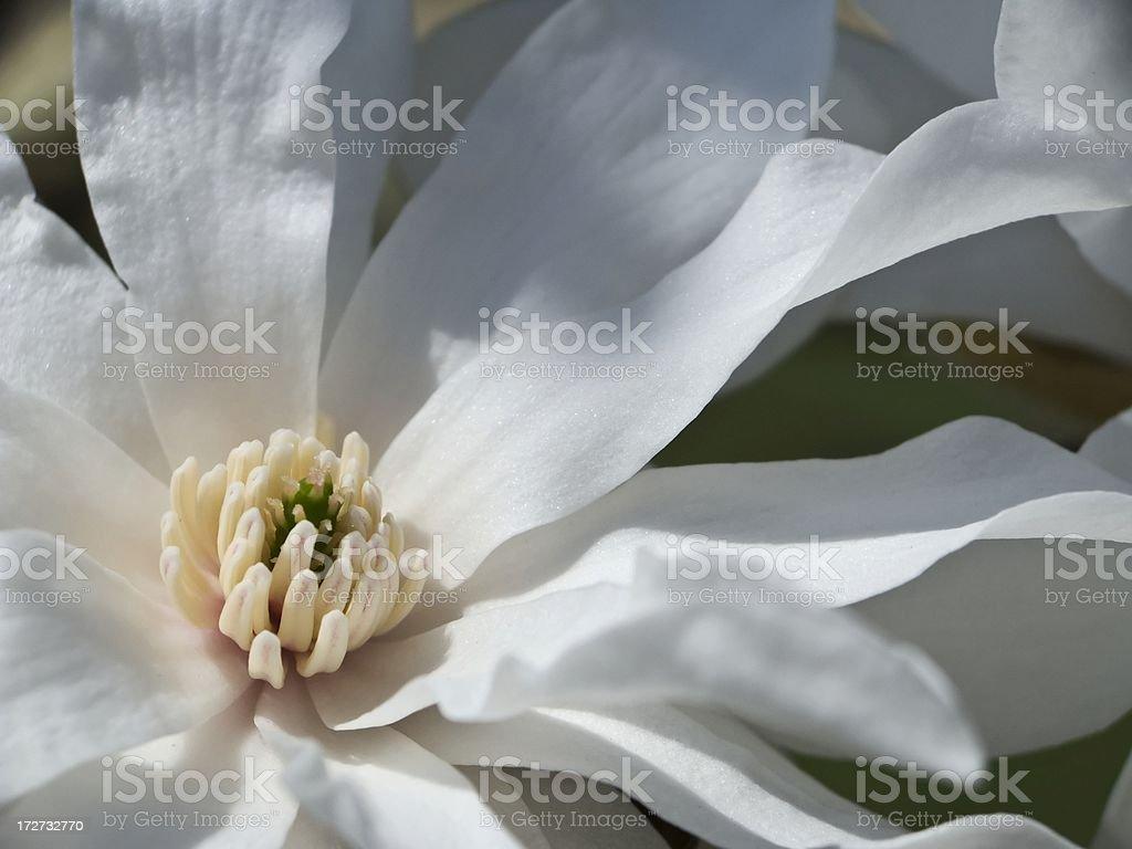 Magnolia Closeup royalty-free stock photo