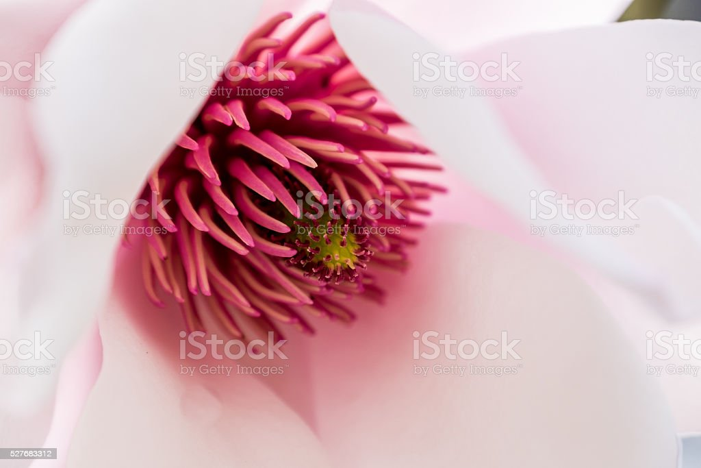 Magnolia Close-up stock photo