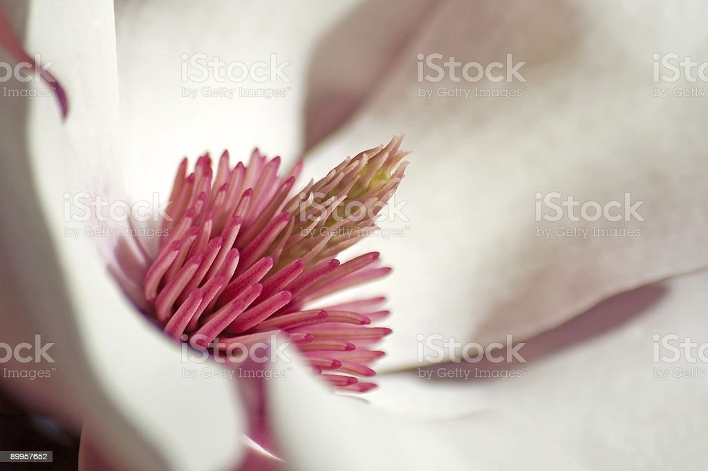 Magnolia Closeup royalty-free stock photo