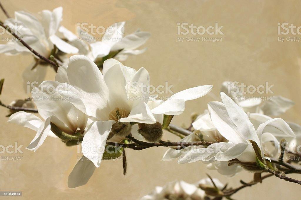 magnolia delight stock photo