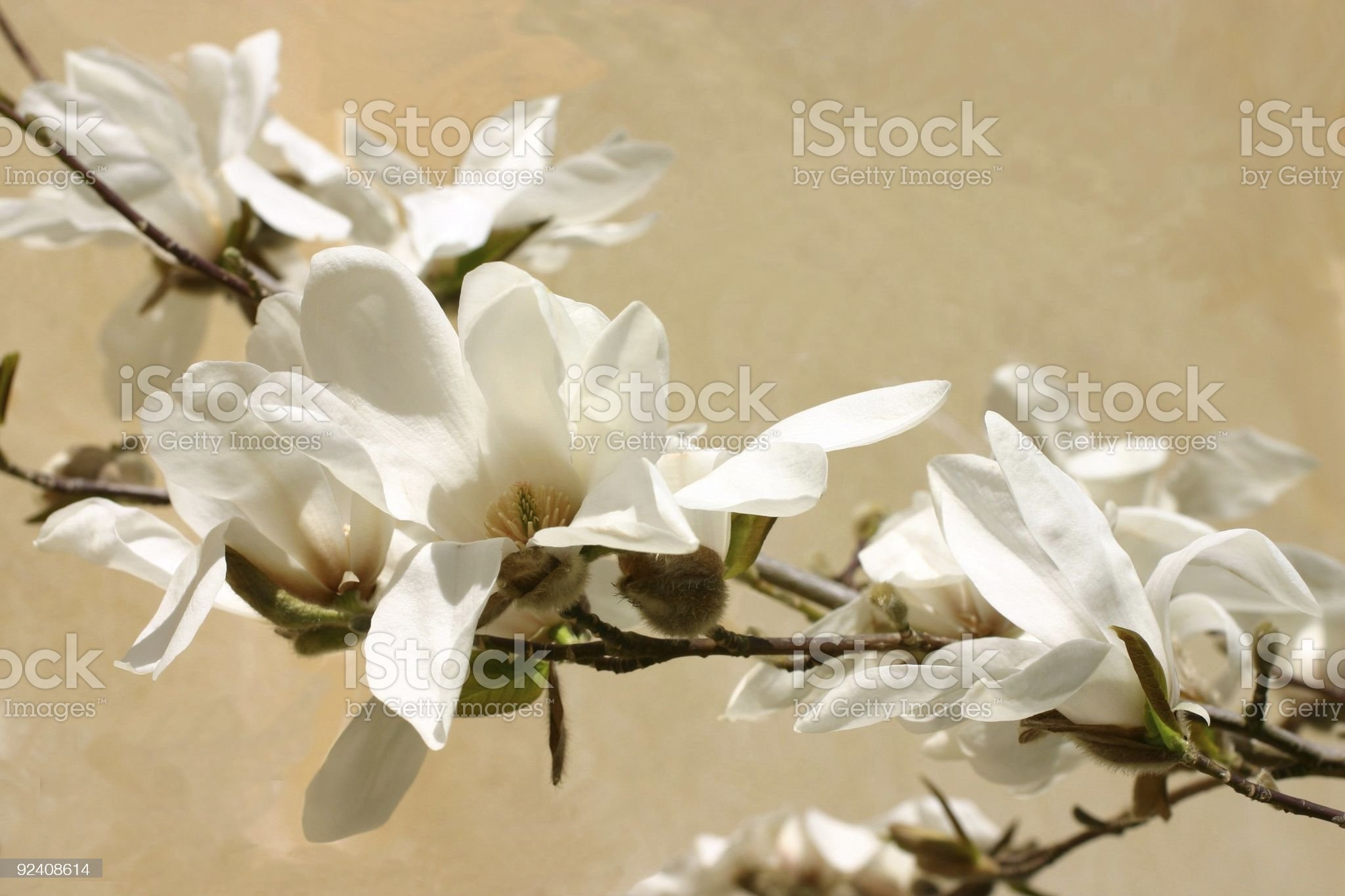 magnolia delight royalty-free stock photo
