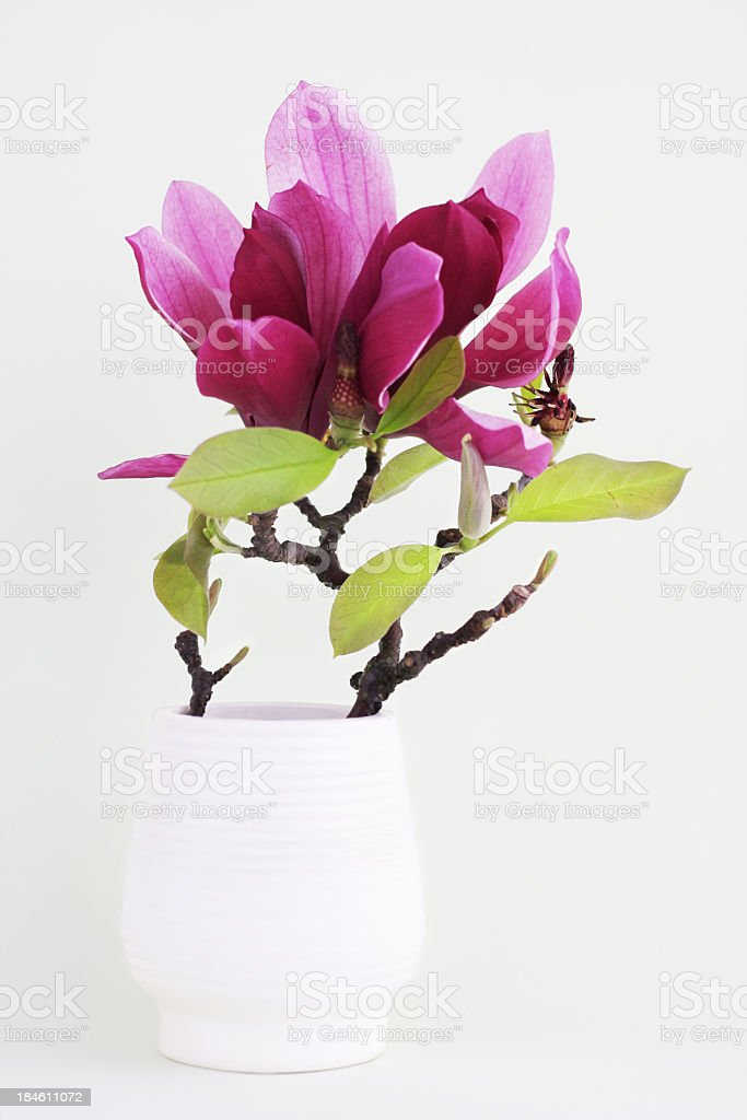 Magnolia flower and twig in white vase with white background royalty-free stock photo