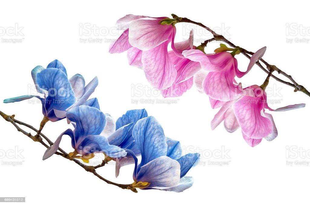 Magnolia flower blossom isolated on white stock photo