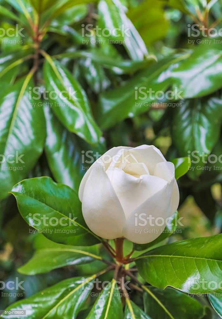 magnolia flower half-open stock photo