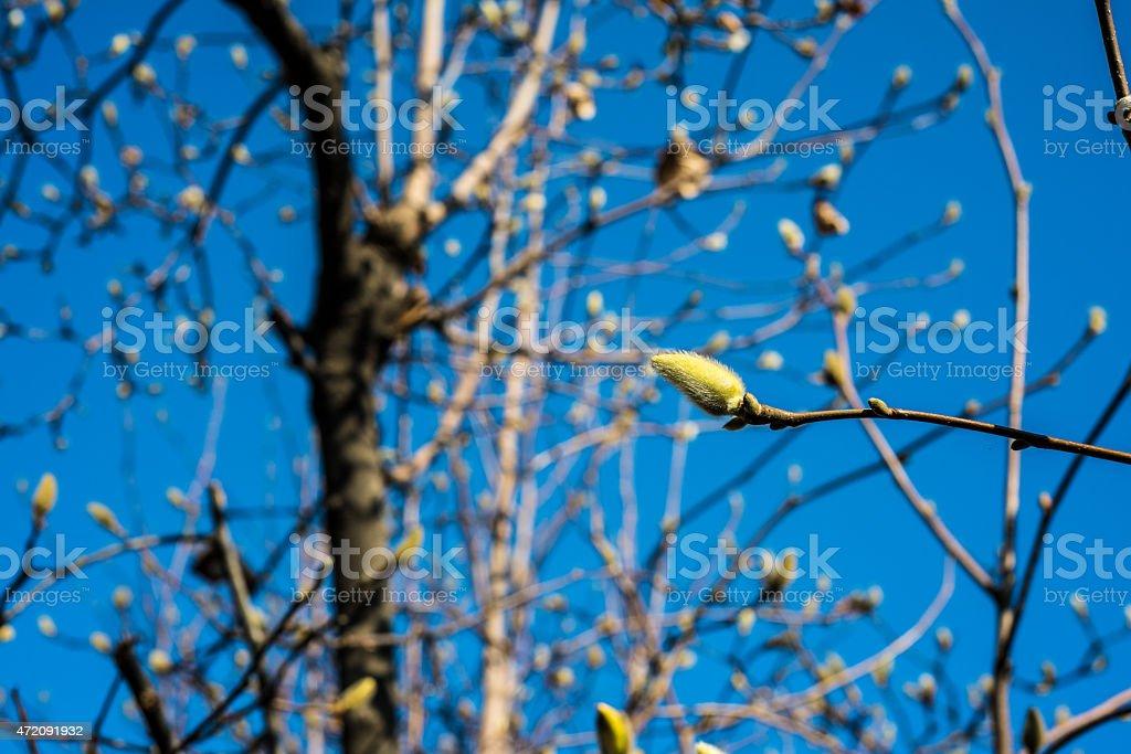 Magnolia Główka kwiatu zbiór zdjęć royalty-free