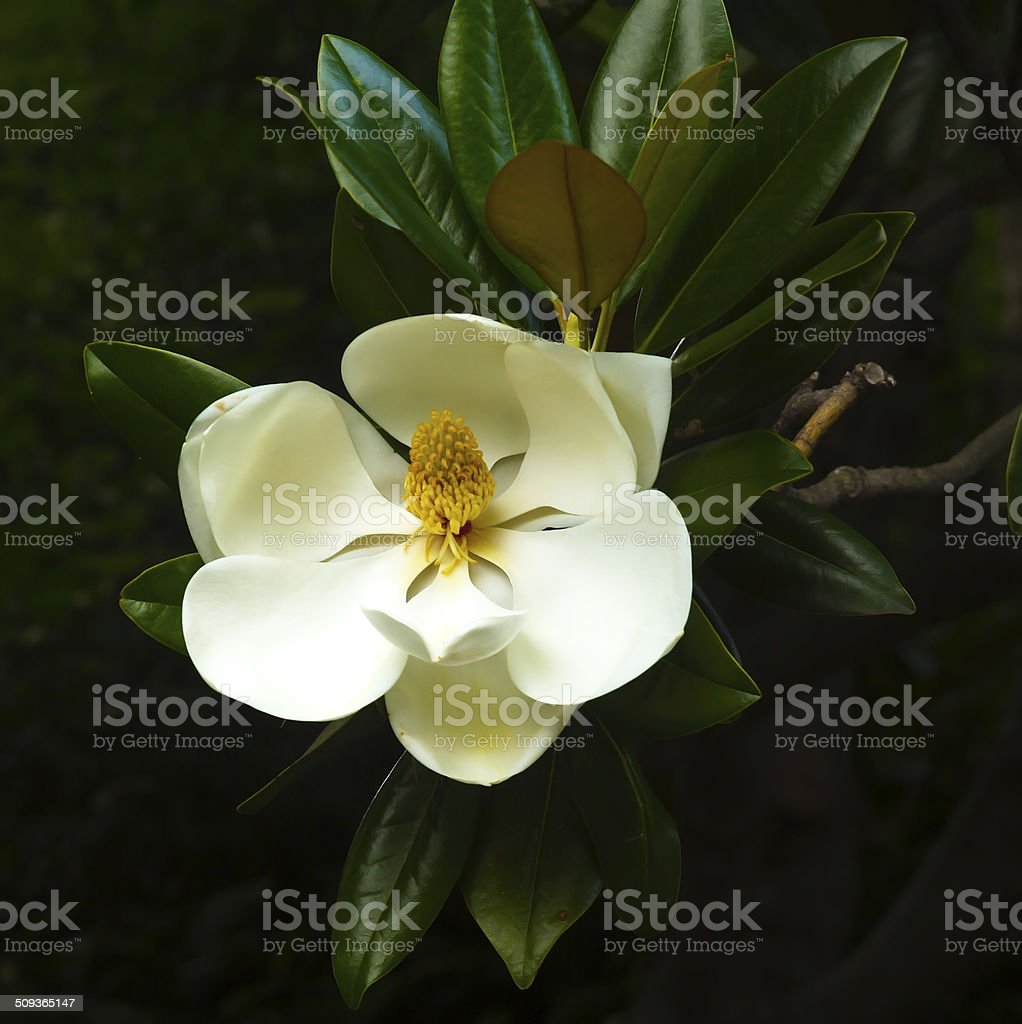 Magnolia flower on a tree branch. stock photo