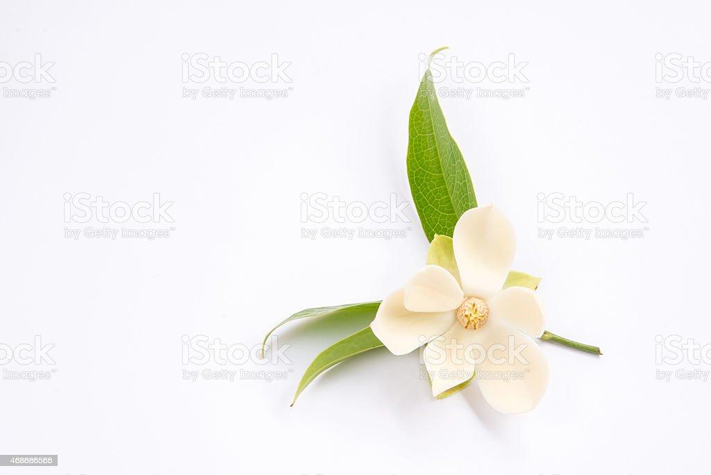 Magnolia flower on isolated background. stock photo