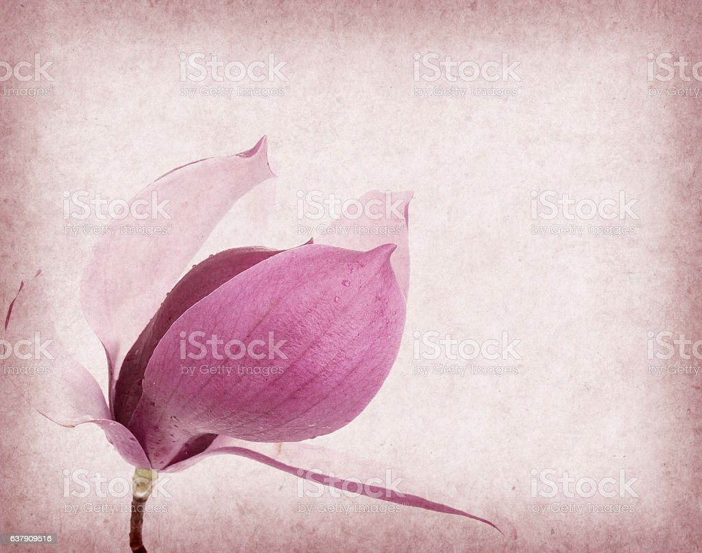 magnolia flower on old paper background stock photo