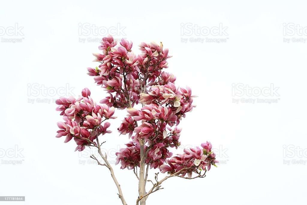 magnolia flower royalty-free stock photo