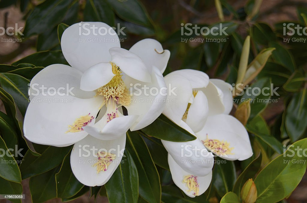 Magnolia flower (M. grandiflora) royalty-free stock photo