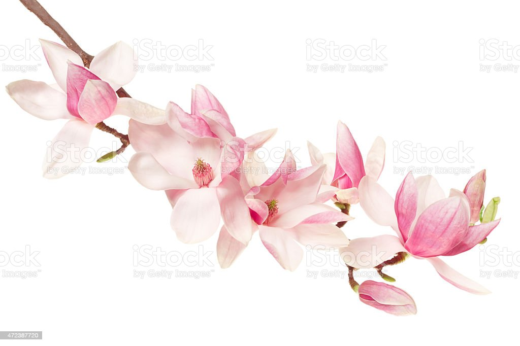 Magnolia flower, spring branch stock photo
