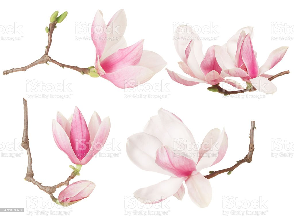 Magnolia flower twig spring collection stock photo
