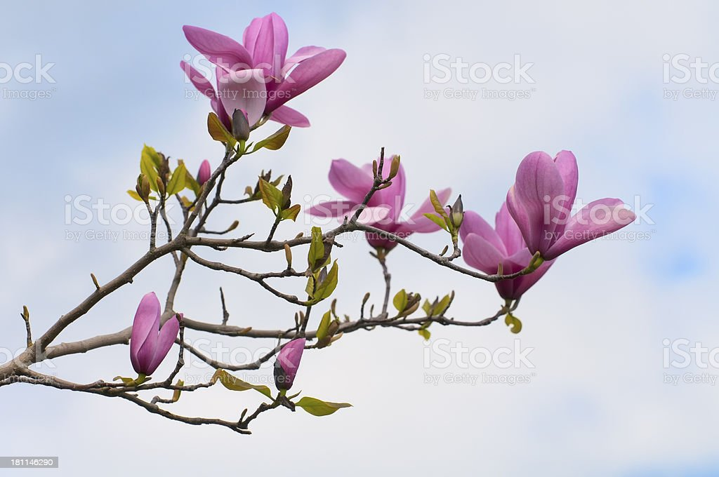 Magnolia Flowers and Buds stock photo