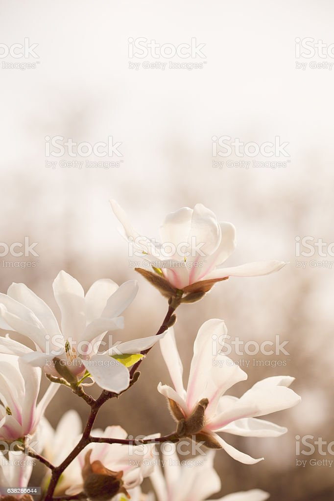 Magnolia flowers in spring garden stock photo