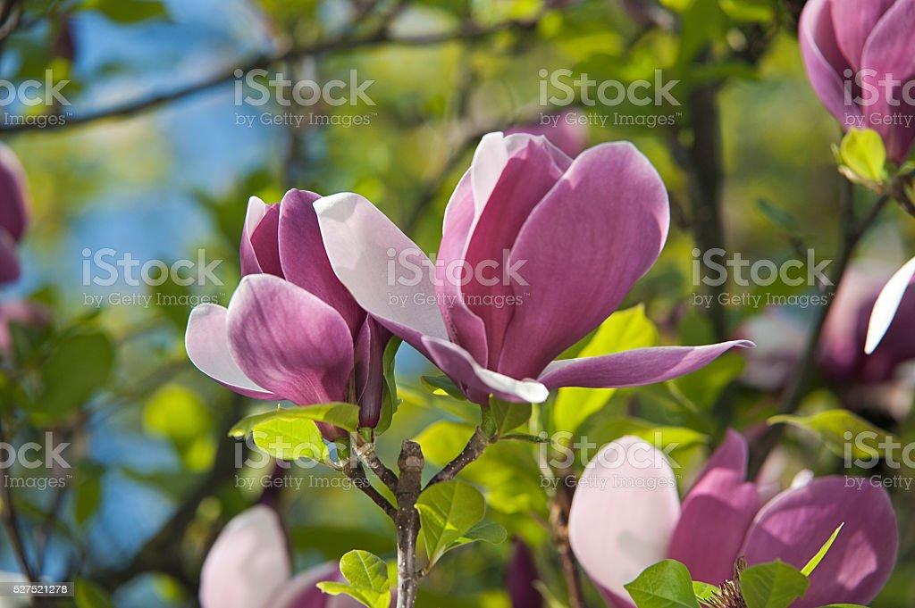 Closeup Soft Pink <b>Magnolia Flowers</b> Outdoors Stock Photo 372922858 ...