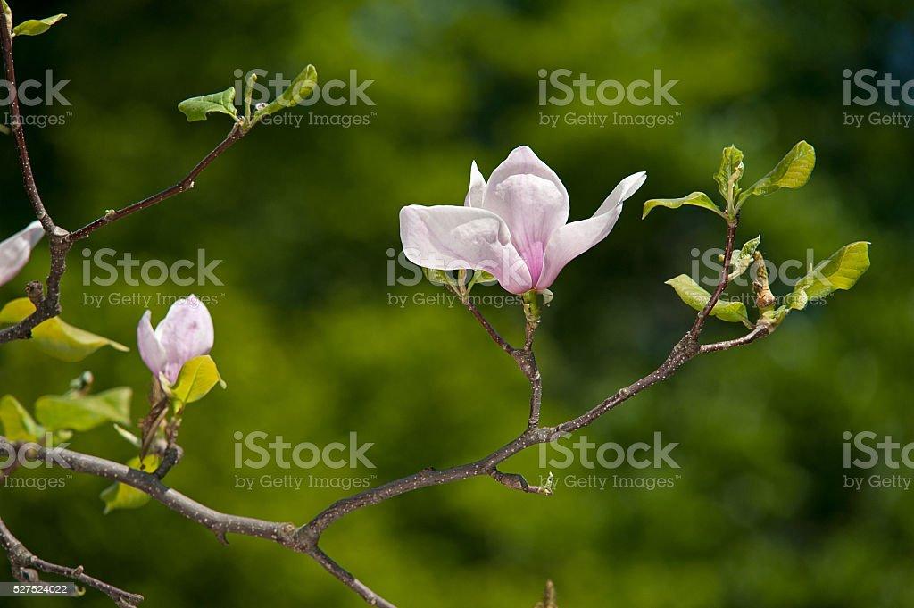 magnolie Blumen auf grünem Hintergrund verschwommen Lizenzfreies stock-foto