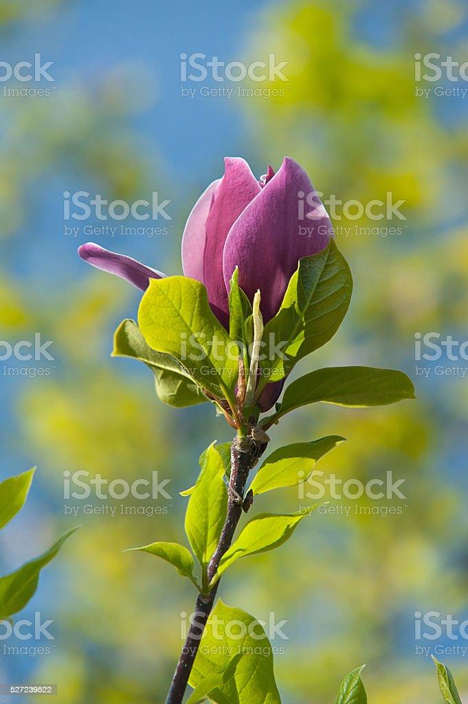 magnolie Blumen auf verschwommene mehrfarbigen Hintergrund Lizenzfreies stock-foto