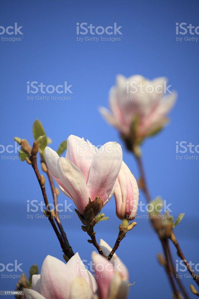 magnolia flowers royalty-free stock photo