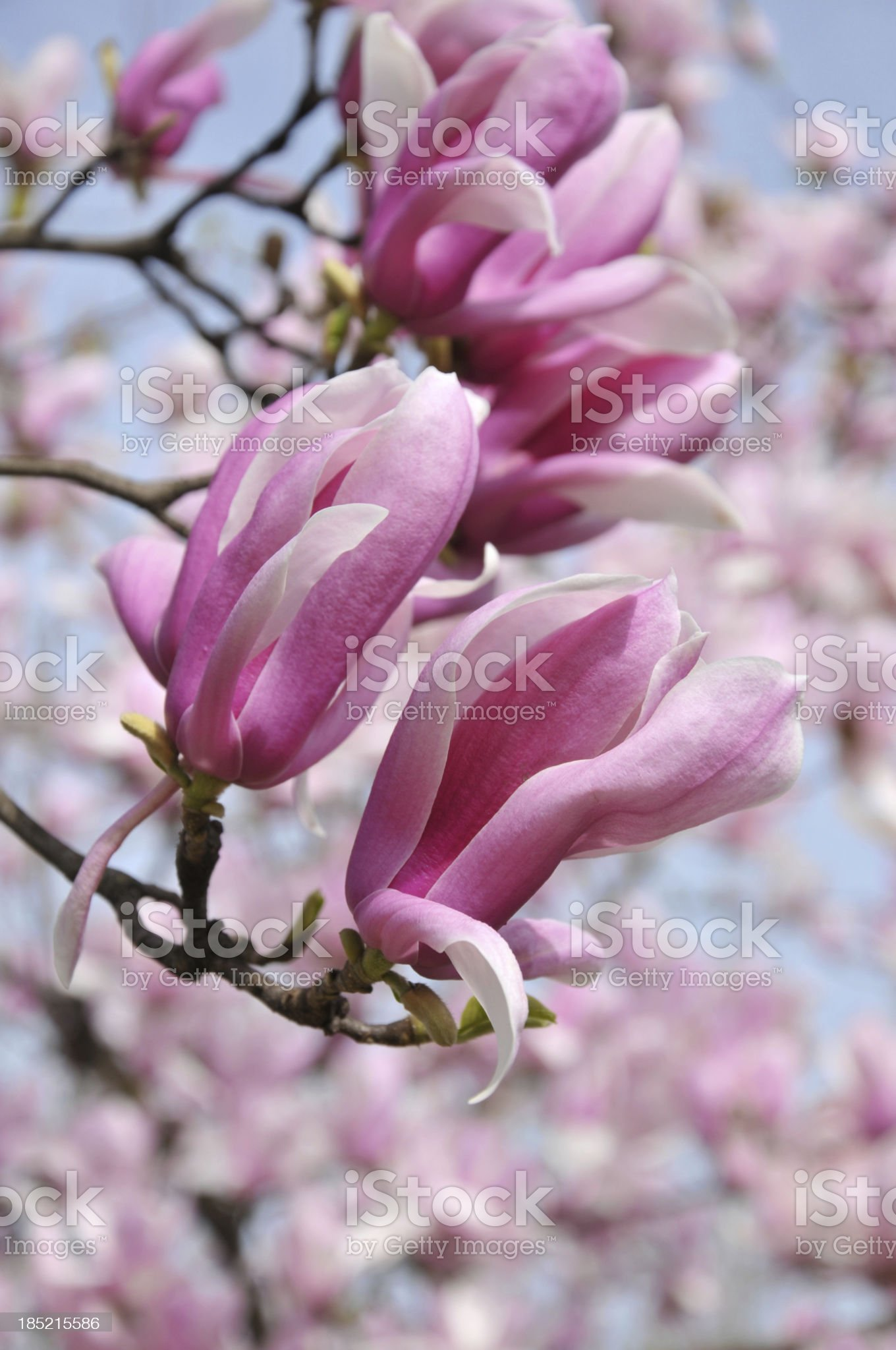 Magnolia flowers royalty-free stock photo