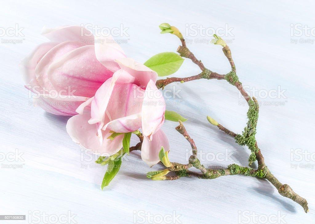 magnolia flowers. stock photo