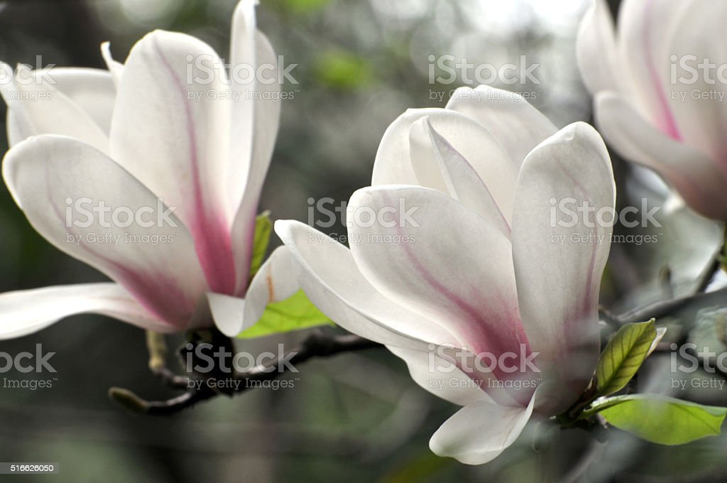 Magnolia flowers stock photo