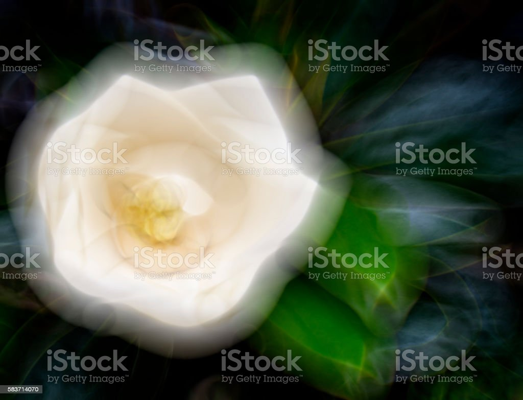 Magnolia Grandiflora Background Blur, Shimmering White and Green 3XL stock photo