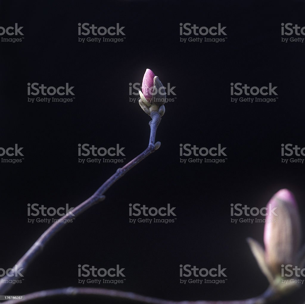 Magnolia in bloom. royalty-free stock photo