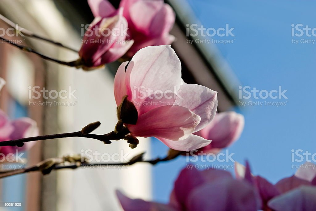Magnolia in bloom royalty-free stock photo