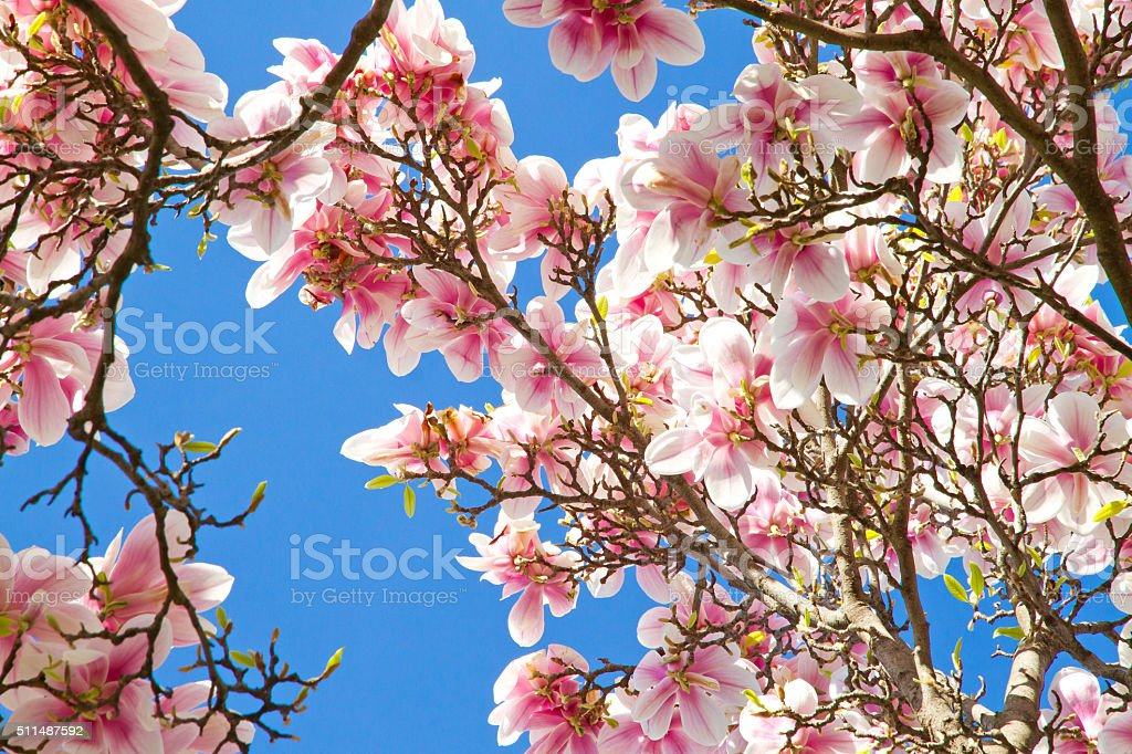 Magnolia in the spring time stock photo