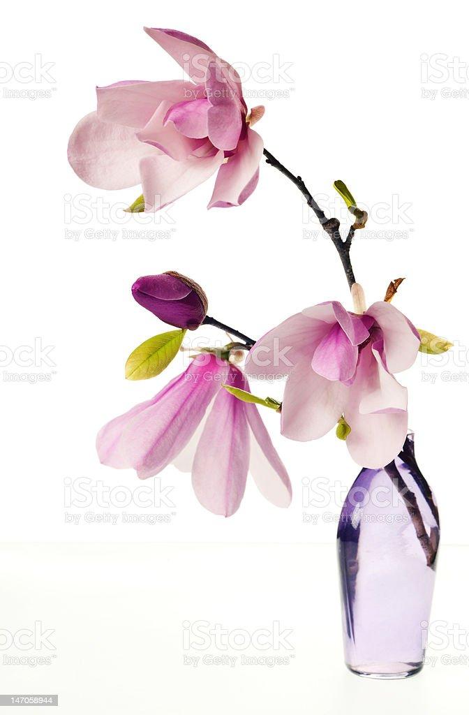 Magnolia Jane Blossoms royalty-free stock photo