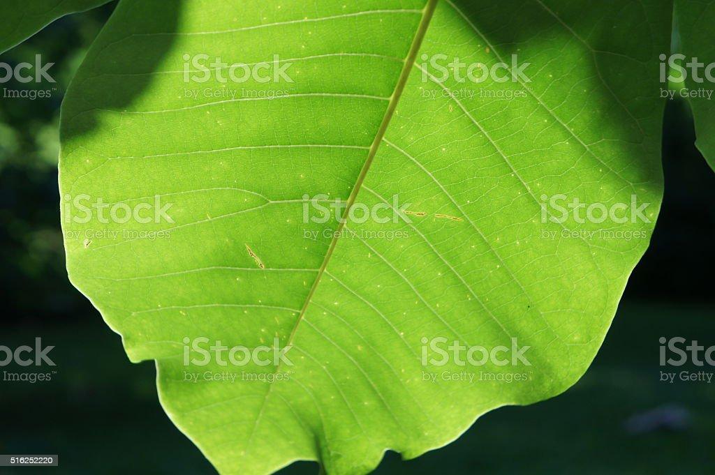 Magnolia leaf stock photo