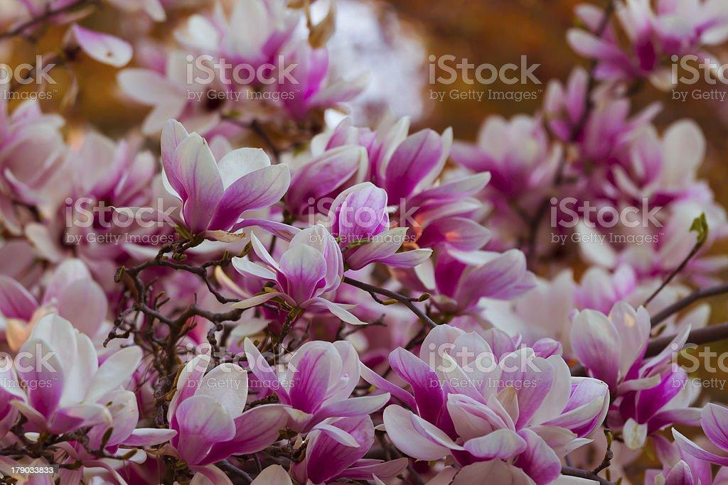 Magnolia liliiflora stock photo