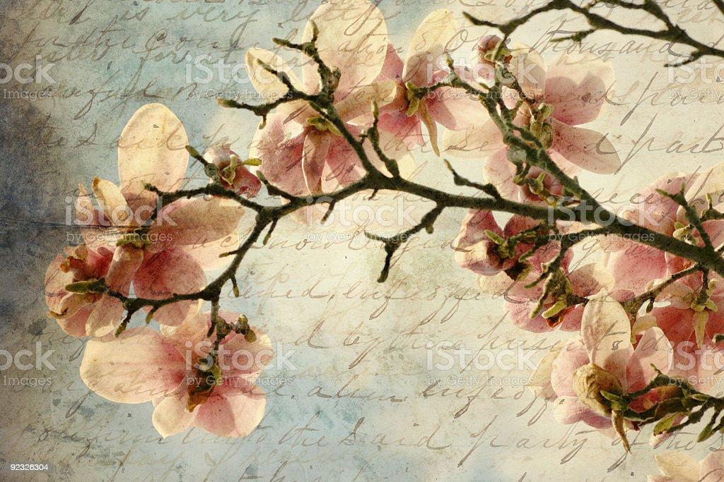 magnolia memories royalty-free stock photo