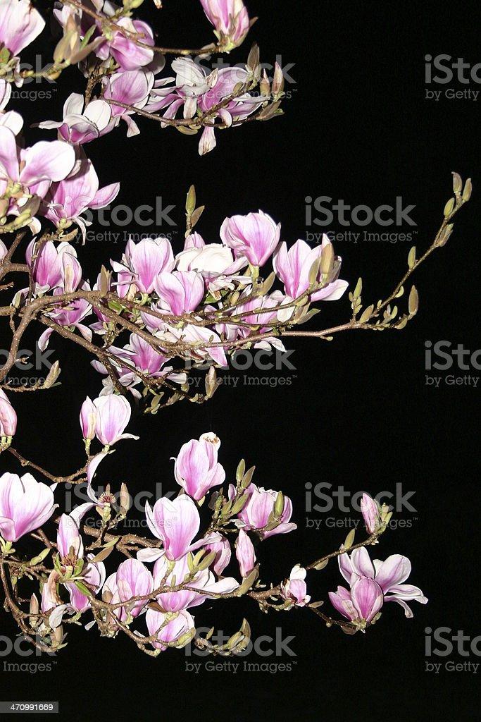 Magnolia Night #1 royalty-free stock photo